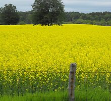 Canola Fields On A Rainy Day by Tracy Faught