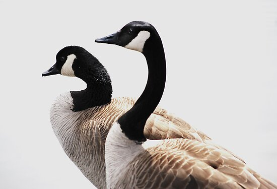 Canada Geese In Profile by Laurie Minor
