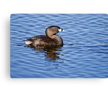 Pied Billed Grebe - Ottawa, Ontario Canvas Print