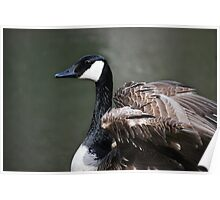 CANADA GOOSE FLUFFING WINGS Poster