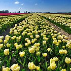 More tulips from Flakkee by Adri  Padmos