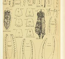 On the Muscular and Endoskeletal Systems of Limulus and Scorpio Sir Edwin Ray Lankester 1883 0096 Anatomy Scorpion by wetdryvac