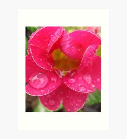Shocking Pink Primrose Art Print