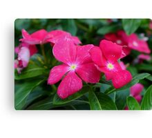 Hot Pink Periwinkle Canvas Print