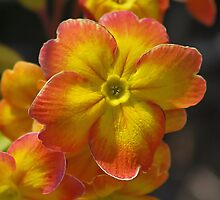 Polyanthus  by relayer51