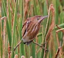 Least Bittern by SuddenJim