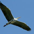 Grey Heron Overhead by Robert Abraham