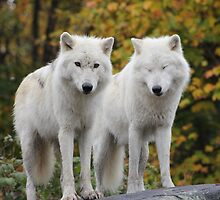 Pair of Arctic Wolves by Vicki Spindler (VHS Photography)