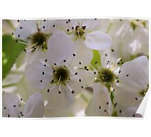 Ornamental pear tree blossoms - Ann Arbor, Michigan Poster