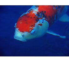 Orange and White Koi Fish Photographic Print