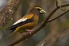 EVENING GROSBEAK ( male) by Sandy Stewart
