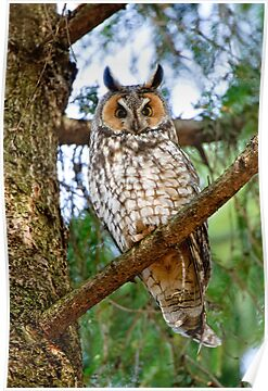 LEO - Long Eared Owl - Ottawa, Ontario by Michael Cummings
