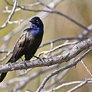 Common Grackle - Ottawa, Ontario by Michael Cummings