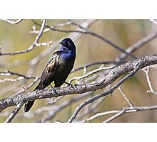 Common Grackle - Ottawa, Ontario Photographic Print