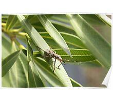 """Stinkbug on a Frangipanni Leaf"" Poster"
