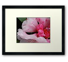 rhododendron.. Framed Print