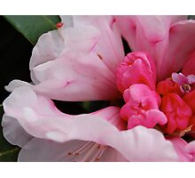 rhododendron.. Photographic Print