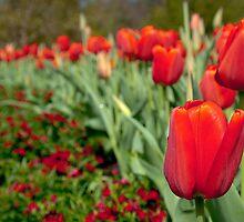 Arc De Tulip - Longwood Gardens USA by John Griggs