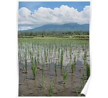 Young Rice Fields - Bali, Indonesia Poster