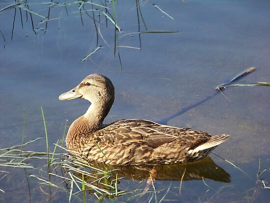 An American Black Duck in the early morning sunlight. by William Brennan