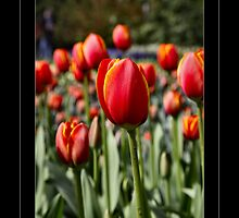 A Dutch Tulip for You  by John44