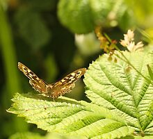 Speckled Wood by Suzy Shipman