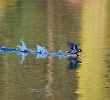Duck taking off 2 by Ryan Dronsfield