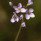 Wild Flower ( Cardamine Pratensis ) by JEZ22