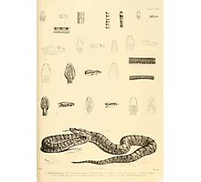 The Reptiles of British India by Albert C L G Gunther 1864 0527 Snakes Photographic Print