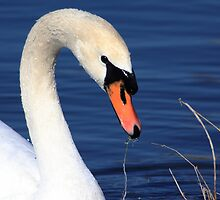 the swan by kathy s gillentine