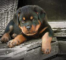 Rottweiler Puppy by Margaret Metcalfe