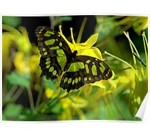 Malachite Butterfly  Poster