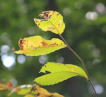Green Leaves by Vicki Spindler (VHS Photography)