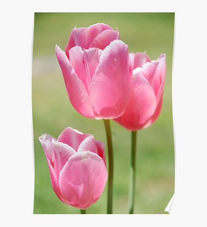 Triple Play Tulips Poster