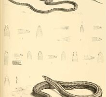 The Reptiles of British India by Albert C L G Gunther 1864 0515 Snakes by wetdryvac