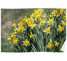 Spring Daffodils In Vermont Poster