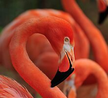 American Pink Flamingo by Robert Howington