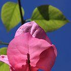 Bougainvillea bloom by Lauren Banks