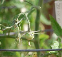 This Year's 1st Tomato by zpawpaw
