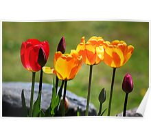 Tulips in the Light Poster
