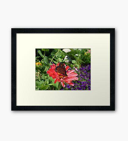 Conneticut Yankee Butterfly Framed Print