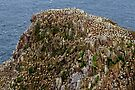 Gannet colony, Saltee Island, County Wexford coast, Ireland by Andrew Jones