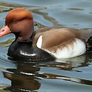Red-Crested Pochard by Robert Abraham