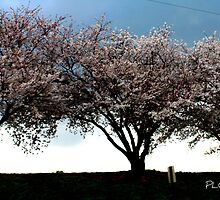 Cherry Blossoms at the Old Cemetary by Patricia Cleveland