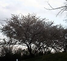 Cherry Blossoms on the hill by Patricia Cleveland