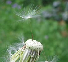 Last dandelion seed tiptoeing gracefully by melody-art