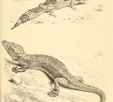 The Reptiles of British India by Albert C L G Gunther 1864 0501 Gecko Stentor, Eublepharis Hardwickii by wetdryvac