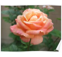 Pink Peach Rose 2 Poster