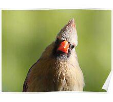 Cardinal Female Poster