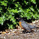 American Robin by flyfish70